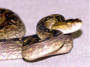 Okinawan Habu Snake