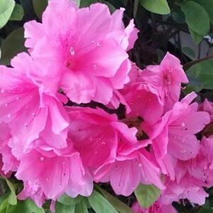 Pink Azaela Blooms