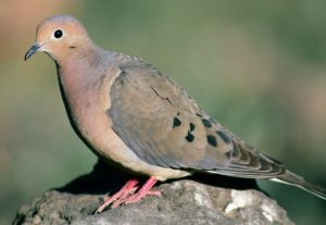 The Morning Dove